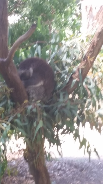 Sleeping koalas. Wish I could have seen it awake but it was a hot day.